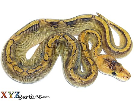 baby champagne ball python for sale
