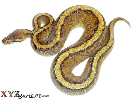 baby genetic stripe ball python for sale