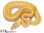 Baby Puma Ball Python
