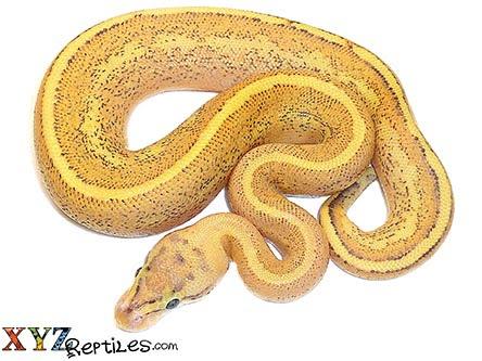 baby puma ball python for sale