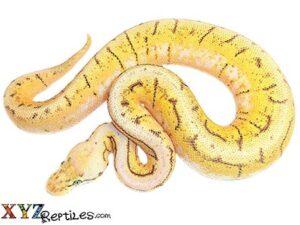 baby spinner blast ball python for sale