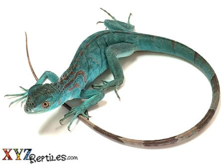Reptiles for Sale | Online Reptile Store | Reptile Pets