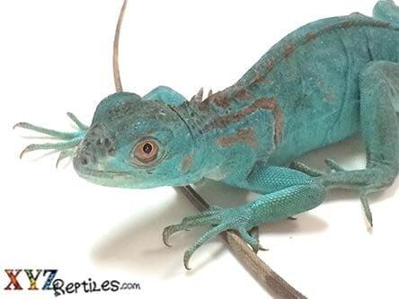 Blue Iguana For Sale : Blue iguana for sale xyzreptiles