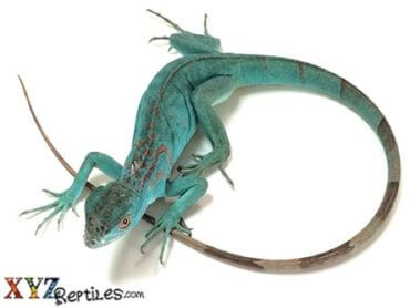 blue iguana for sale