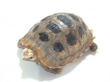 elongated tortoise A5107 1