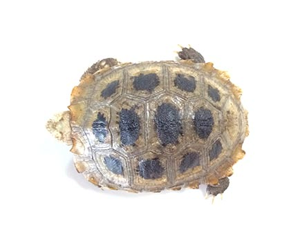 elongated tortoise A5107 3
