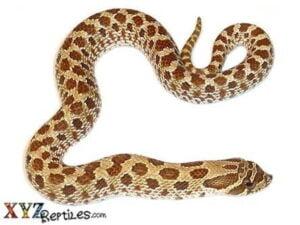 western-hognose-snake-for-sale
