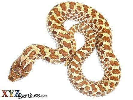 western-hognose-snake-for-sale2