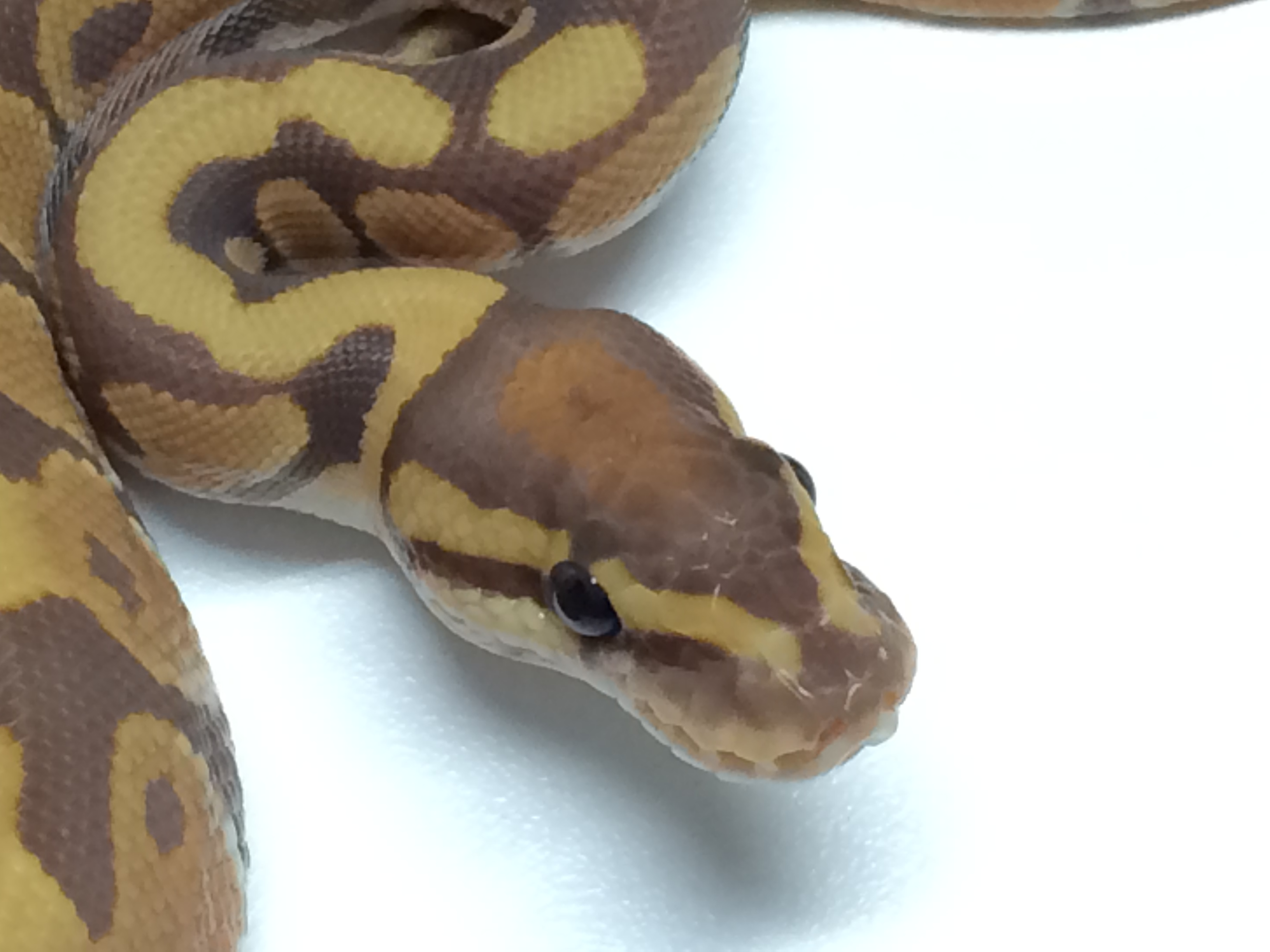 Baby Ultramel Ball Python for Sale