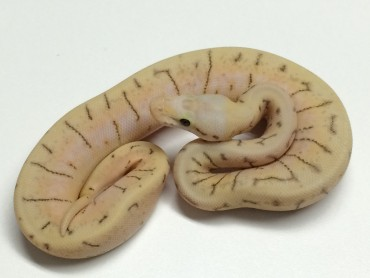 Baby Killer Spinner Ball Python