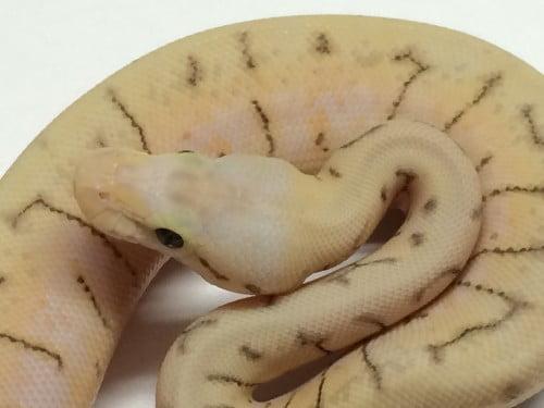 Baby Killer Spinner Ball Python