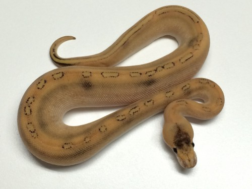 Baby Champagne Russo Ball Python