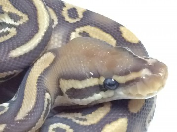 Baby Caramel Het Red Axanthic Ball Python