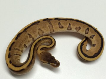 Baby Caramel Het Red Axanthic Het Red Axanthic Ball Python