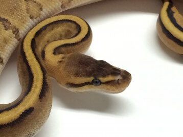 Baby Yellowbelly Genetic Stripe Ball Python