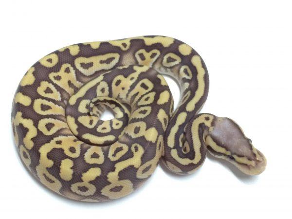 Baby Pastel Caramel Ball Python