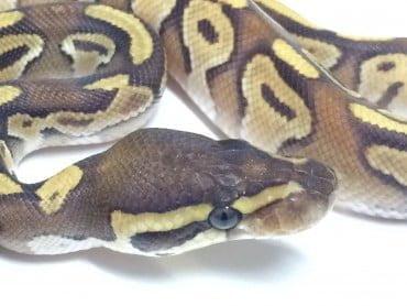 Baby Mojave Enchi Ball Python