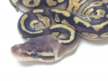 Baby Amber Ball Python