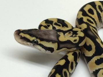 Baby Citrus Pastel Desert Ball Python