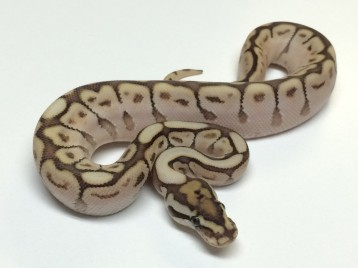 Baby Spider Butter Ball Python