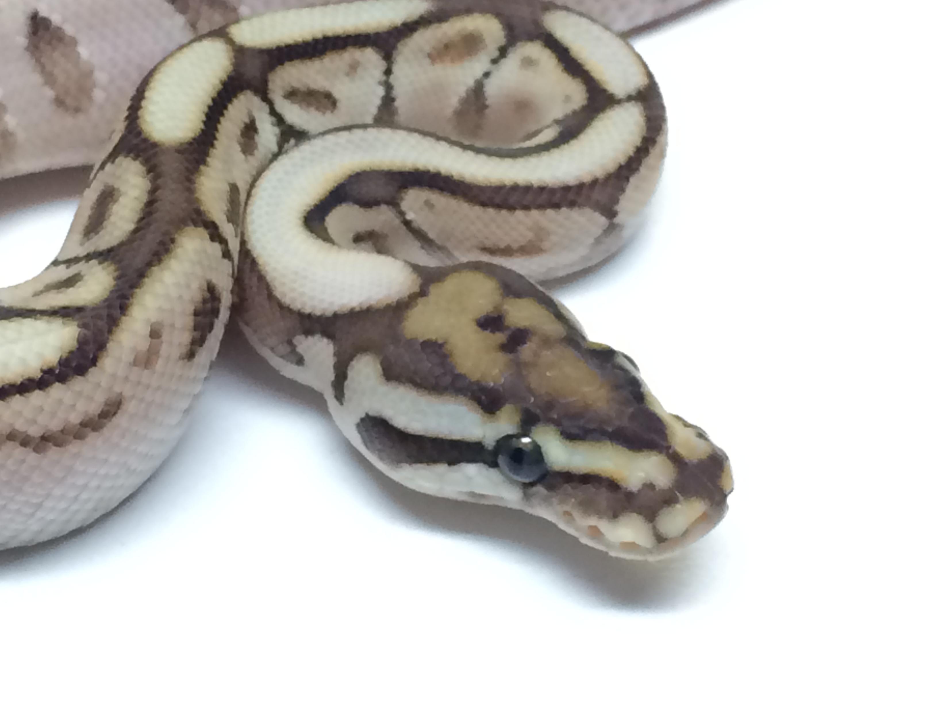 butter spider ball python