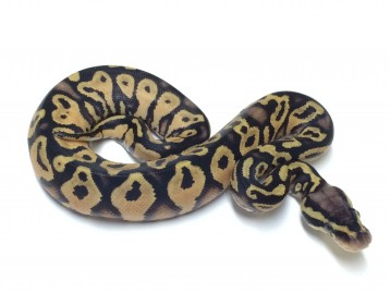 Baby Pastel Yellowbelly Ball Python