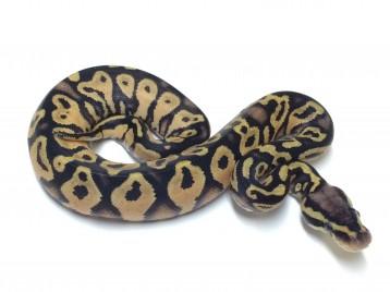 Baby Pastel Yellowbelly Ball Python