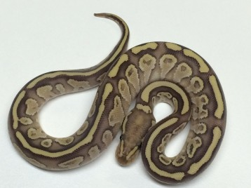 Baby Butter Flame Ball Python