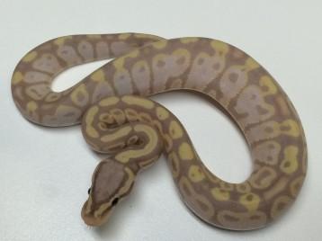 Baby Citrus Banana Ball Python