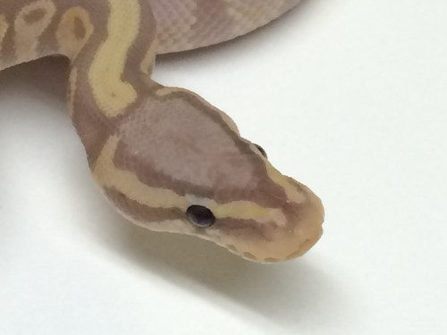 Baby Butter Flame Ball Python