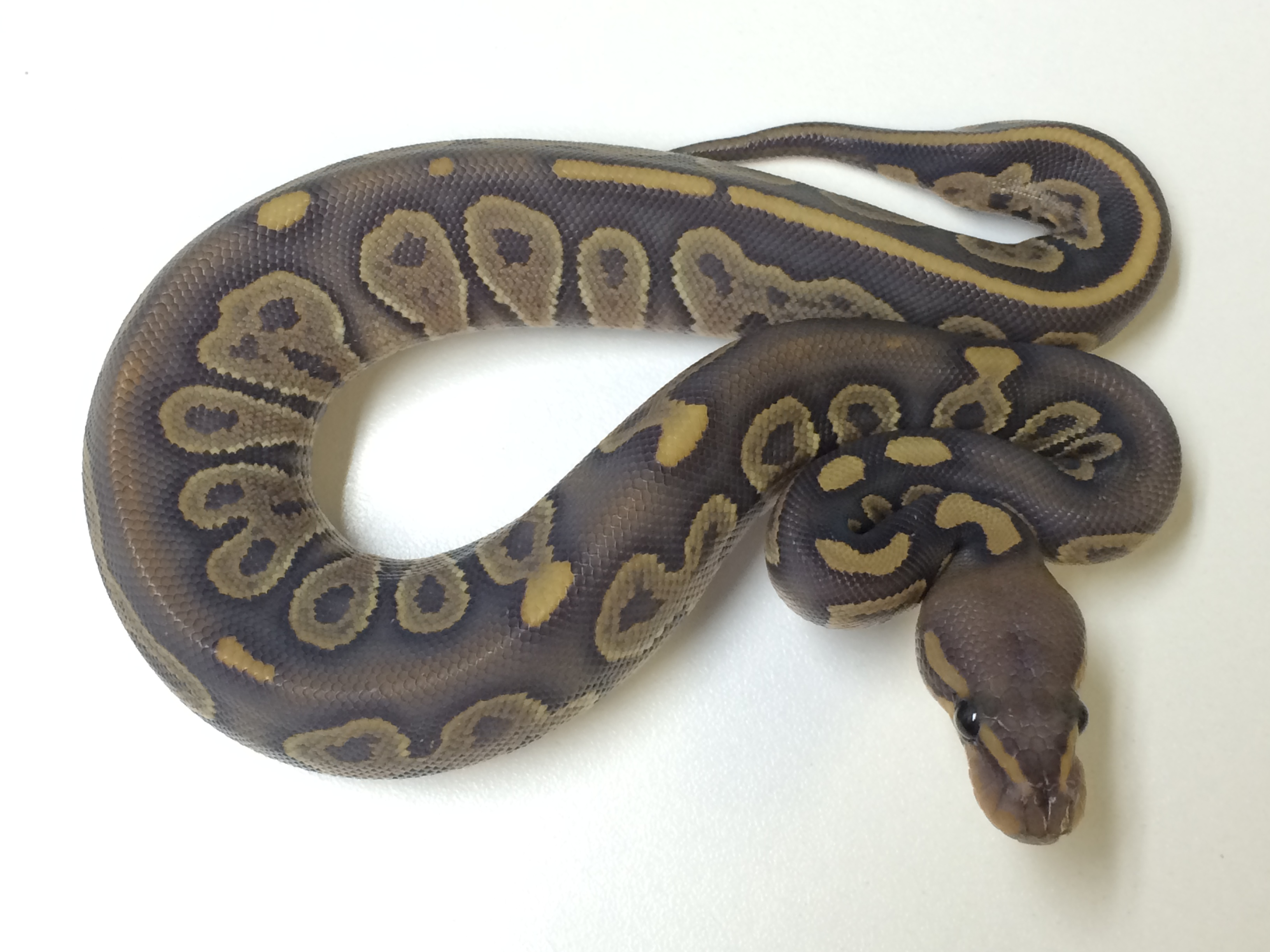 Baby Chocolate Ghost Ball Python