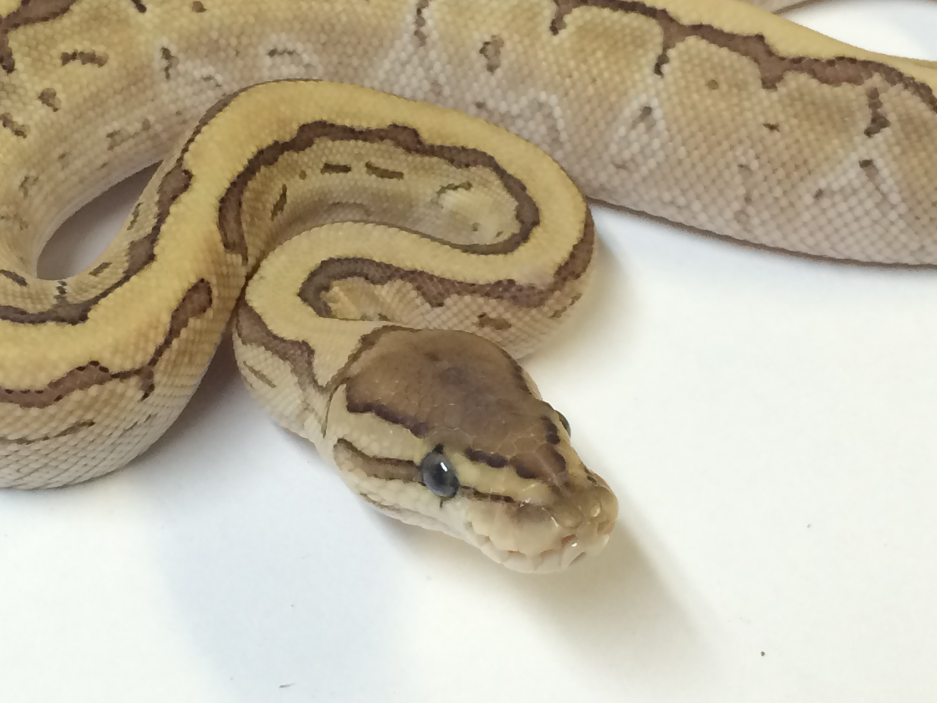 78+ Baby Burmese Python For Sale - Photo Posted By Sharkman20, Baby
