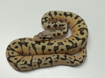 Baby Killerbee Ball Python
