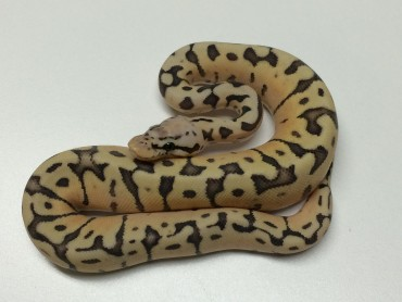 Killer Bee Ball Python for Sale