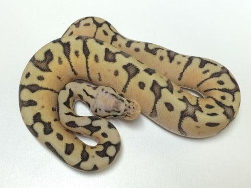 Baby Chocolate Ghost Ball Python