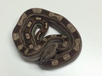 Baby Motley Boa Constrictor
