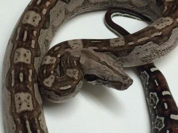 Baby Aztec Boa Constrictor