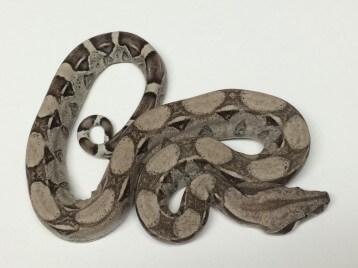 Baby Anery het Snow Boa Constrictor