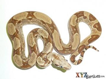 Baby Hypo het Albino Boa Constrictor