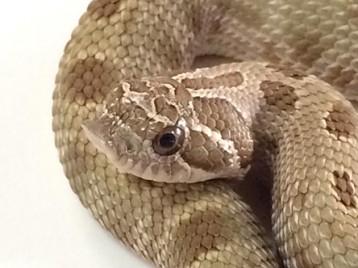 Baby Anaconda Hognose Snake pos het Albino