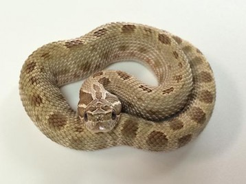 Anaconda Hognose Snake