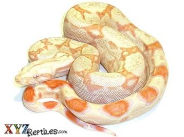 albino boa