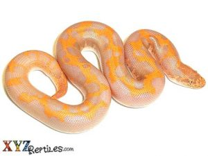 albino sand boa for sale