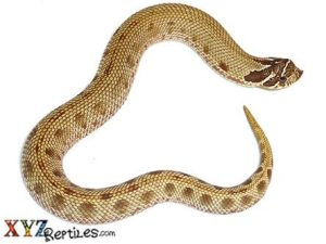Anaconda Hognose Snake For Sale
