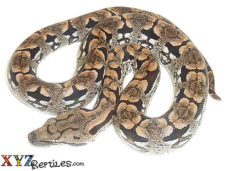 baby dumerils boa for sale
