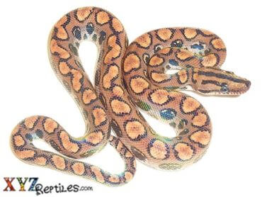 Brazilian rainbow boa for sale