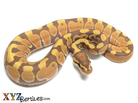 utlramel ball python for sale