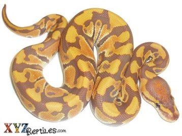 Baby Ultramel Ball Python