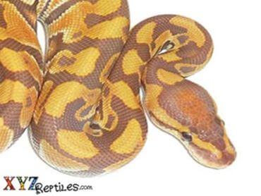 ultramel ball python for sale