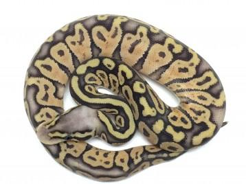 Baby Super Pastel Ball Python